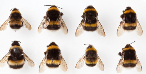 Cryptic species of the subgenus Bombus s. str.
