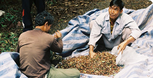 Collecting dipterocarp insects