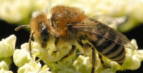 Colletes similis