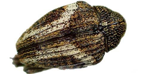 Cryptorhynchine seed-feeding weevil from Panama