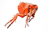 Ctenocephalides canis, dog flea