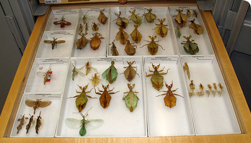 Drawer of leaf insects in museum collection
