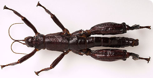 Dryococelus australis, Lord Howe stick insect