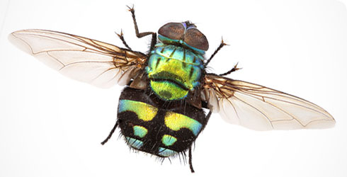 Formosia moneta, fly