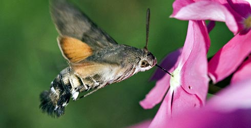 A hummungbird hawkmoth, feeding from a flower