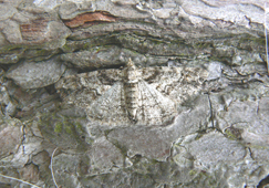 Cleora cinctaria (Ringed carpet moth)