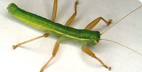 Mantophasmatodea