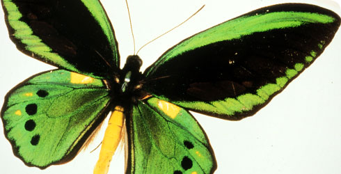 Ornithoptera priamus, birdwing butterfly