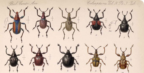 A page of weevils from the Biologia Centrali-Americana
