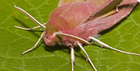 A Small elephant hawkmoth