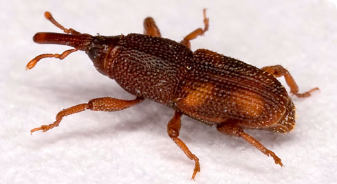 Sitophilus oryzae, the rice weevil