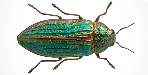 Splendour beetle