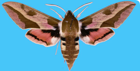 Spurge-Hawk moth