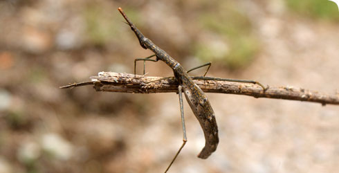Stick grasshopper (Proscopiidae) from Peru