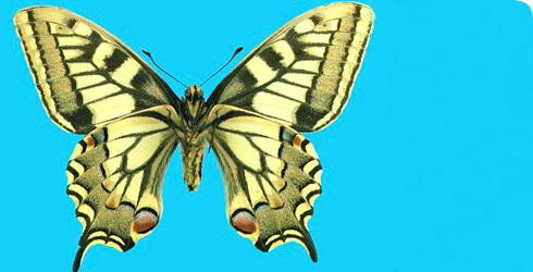 Underside of a Swallowtail butterfly