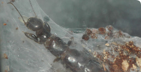 Adult female webspinner in its nest