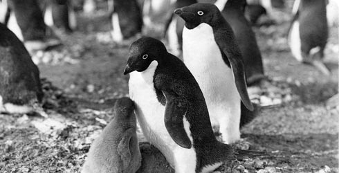 Adélie penguins photographed during Robert Falcon Scott's Antarctic expedition.