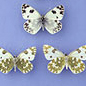 Butterflies of the family Pieridae