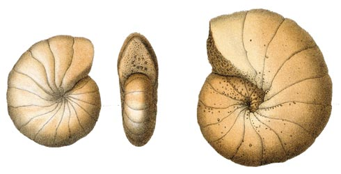 Foraminifera illustrations from the Challenger expedition