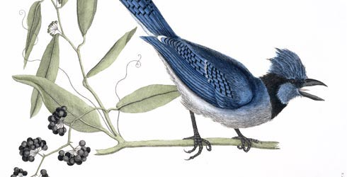 Cyanocitta cristata, blue jay illustration