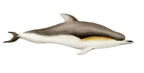 Dolphin illustration by Edward Wilson