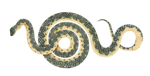 Morelia spilota illustration from the First Fleet collection