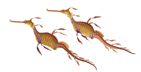 Phyllopteryx taeniolatus, weedy seadragon illustration