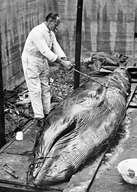 Working on a whale carcass, 1930s.