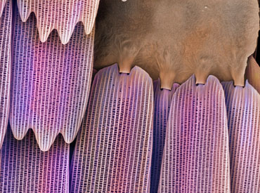 Close-up of a false-coloured scanning electron microscope image of a section of butterfly wing