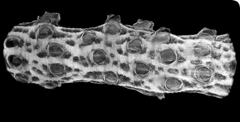 3D volume of a bryozoan prepared using reflection nano-CT