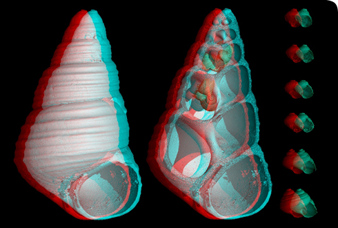 Stereo-perspective micro-CT reconstruction of a fossil viviparous snail