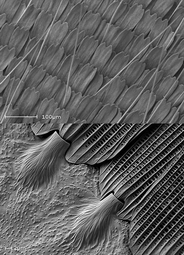 Secondary electron images of butterfly scales from Artogeia napi