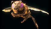Artificially coloured scanning electron microscope image of a honey bee, Apis mellifera