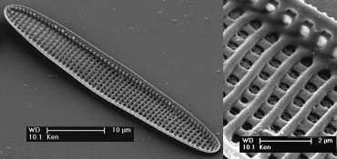 Scanning electron image of the rapheless valve of the diatom species Achnanthes angustata Greville