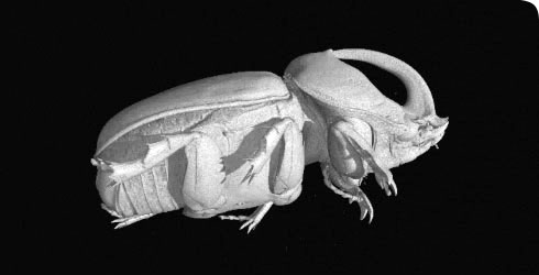 Still image taken from a micro-CT of the rhinoceros beetle, Oryctes boas
