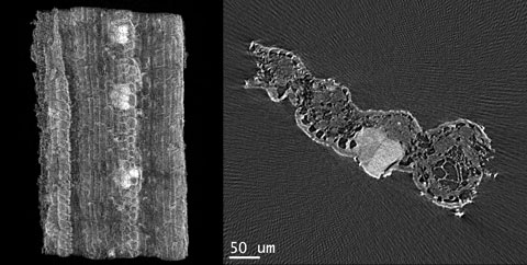 A 3D volume image and 2D virtual slice through a dried sugar cane leaf