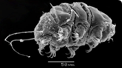 Scanning electron image of a tardigrade, a tiny animal