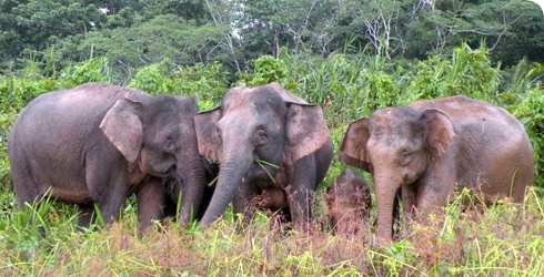 Adult female Borneo elephants with young
