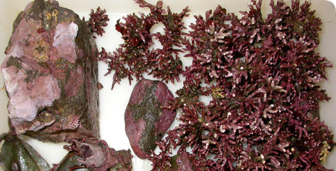 Coralline algae - crustose and maerl