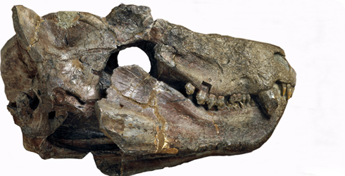 Fossil skull of the extinct mammal-like reptile Cynognathus