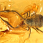 Eocene pseudoscorpion preserved in Baltic amber