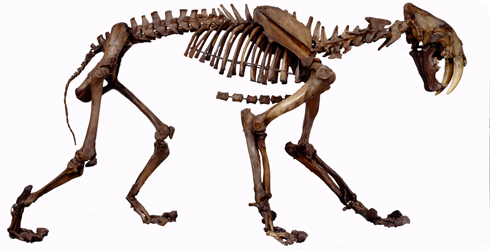 Extinct sabre-toothed cat, Smilodon fatalis, lived in North Americaabout 15,000 years ago.