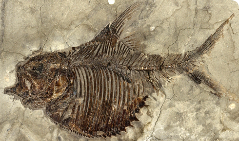 Fossil actinopterygian fish, Ellimichthys