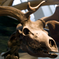Skull of a giant deer