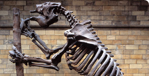 Skeleton of the giant ground sloth, Megatherium, an extinct mammal that lived during the Pleistocene