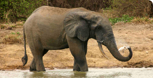 Loxodonta africana cyclotis, the African forest elephant.