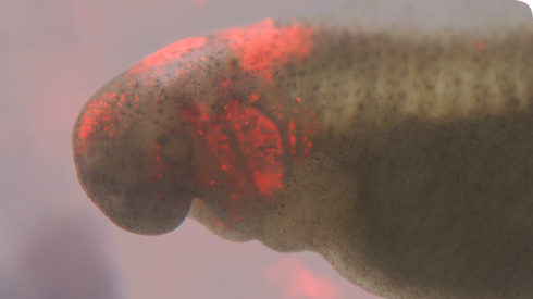 Neural crest cells tagged with fluorescent dye in the head of an Australian lungfish embryo
