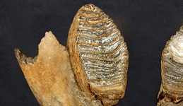 Woolly mammoth tooth.