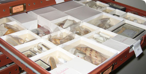 Dried molluscs from the Shelagh Smith Collection at the National Museum of Scotland