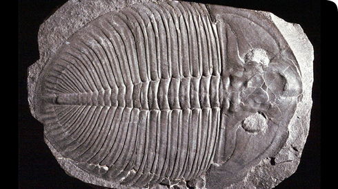 Ogygiocarella, a trilobite from the Ordovician